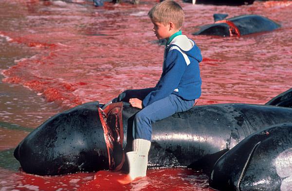 Pilot whale slaughter, Faroe Islands, Denmark
